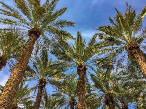 Palmen vor der Oase En Gedi in der Negev-Wüste in Israel