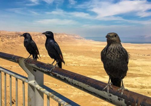 Raben an der Festung Masada, Israel