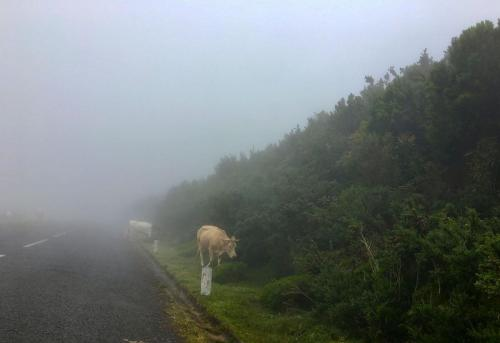 Achtung: Kühe im Nebel auf der Hochebene Paul das Serra auf Madeira.